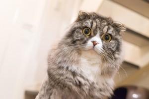 scotish_cat