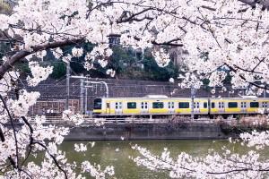 sakura train